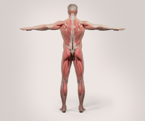 Full Body Mover Number 2: the back muscle