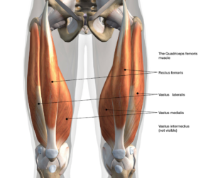 Full Body Mover Number 3: the leg muscles